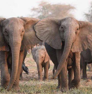 Elefantes fueron devueltos a su hábitat natural por la falta de turismo